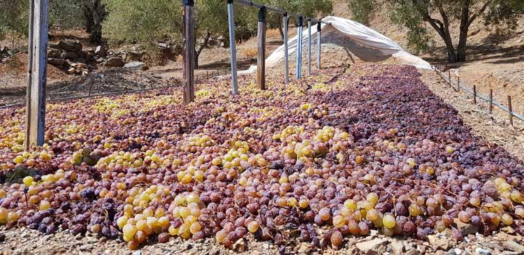 Rozijnen liggen te drogen in de Axarquia